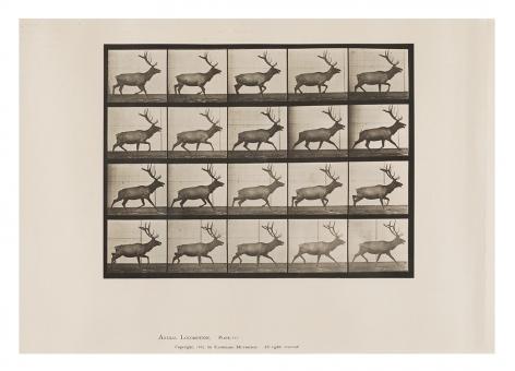 Eadweard Muybridge Elk; trotting, plate 692 from the series Animal Locomotion, 1887.