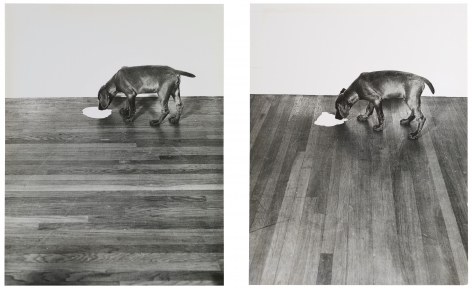William Wegman, Milk/Floor, 1970.