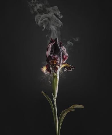Ori Gersht,Iris Atropurpurea D03, 2018. Archival pigment print, 47 1/4 x 40 3/8 inches.