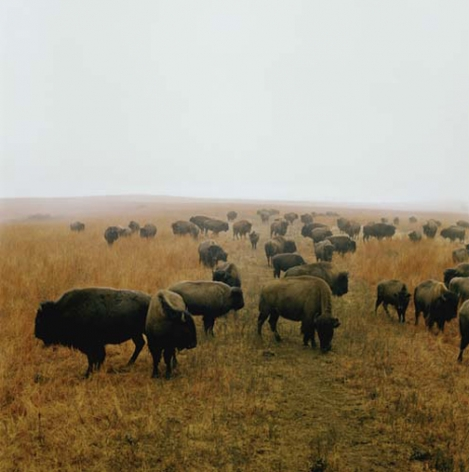 Bison at Maxwell Game Preserve, Roxbury, Kansas, December, 1981, 30 x 30 or 40 x 40 inch chromogenic print