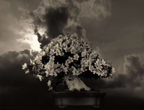 Bonsai #4031, 2019. Gelatin silver print, 10 3/16 x 13 3/8 inches.