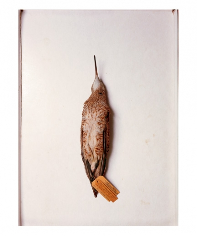 Eskimo curlew, Kansas, 1891, from the series Specimens, 2001, 24 x 20 or 34 x 26 inch Iris print