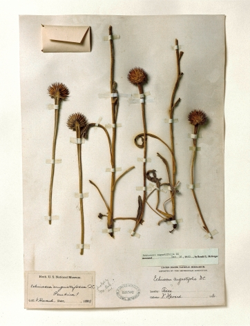 Smithsonian, Echinacea, 1880, 2000. Archival pigment print, 24 x 20 inches.