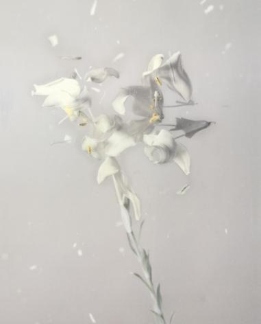 Lilium Candidum 01P, 2018. Archival pigment print, 31 1/2 x 25 3/8 inches.