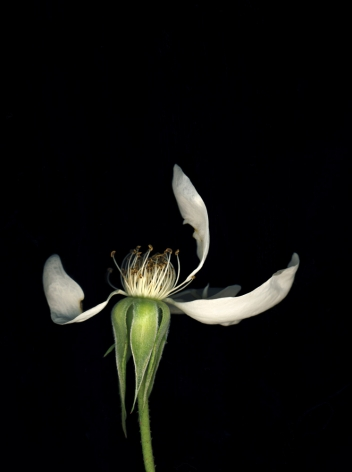 Flowers #9, Untitled (Rosea), 2010, 7 x 10 inch archival pigment print