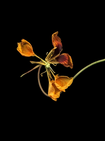 Flowers #11, Untitled (Capuchin), 2011, 7 x 9 inch archival pigment print