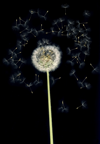 Flowers #6, Untitled (Puste/Dandelion), 2010, 7 x 10 inch archival pigment print