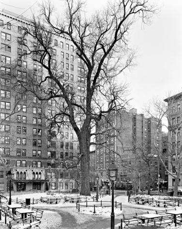 English Elm, Washington Square Park, New York, from the series New York Arbor. Gelatin silver print,68 x 54 inches.