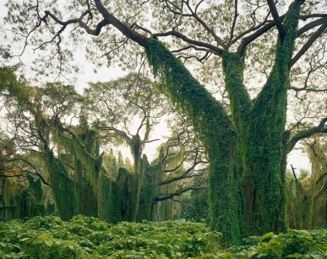 Bosque de Habana, from the series Cuba, 1999. Archival pigment print. Available at 30 x 40 inches, edition of 10, or 40 x 50 inches, edition of 5, or 50 x 60 inches, edition of 3, or 70 x 90 inches, edition of 3.