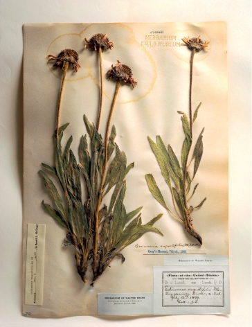 Field Museum, Echinacea, 1899, 2000. Archival pigment print, 24 x 20 inches.