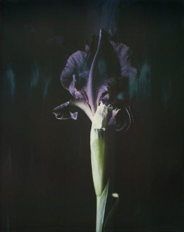 Iris Atropurpurea 06B P,2018. Archival pigment print, 15 3/4 x 12 3/4 inches.