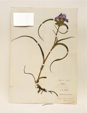 Field Museum, Tradescantia, 1898, 2000. Archival pigment print, 24 x 20 inches.