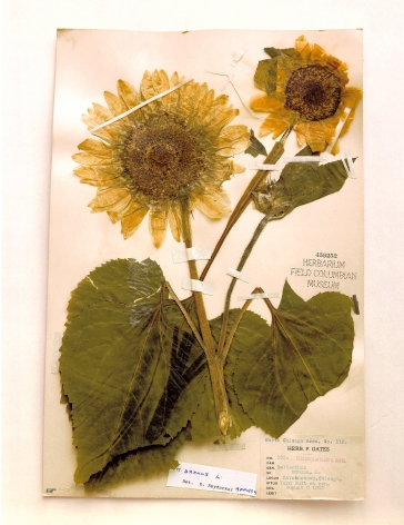 Field Museum, Helianthus, Chicago, 1905, 2000. Archival pigment print, 24 x 20 inches.