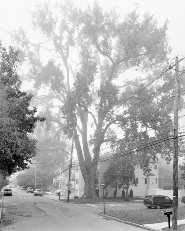 Eastern Cottonwood, Sprague Avenue, Staten Island II, from the series New York Arbor, 2011. Gelatin silver print, 40 x 30 or 68 x 54 inches.
