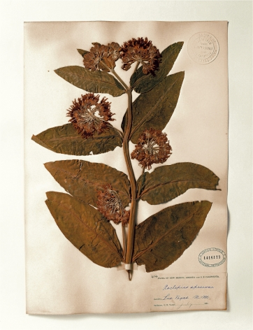 Smithsonian, Asclepias, 1881, 2000. Archival pigment print, 24 x 20 inches.