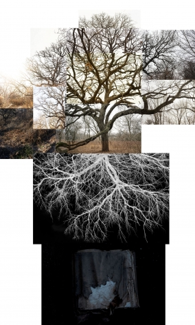 Bur Oak With Roots, Chicago, Jackson Park, January,2020. Archival pigment print, 50 x 40 inches.