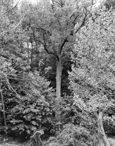 Tulip Tree, Alley Pond Park, Queens II from the series New York Arbor, 2011. Gelatin silver print, 40 x 30 or 68 x 54 inches.