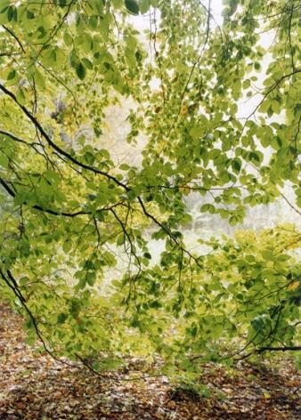 Forest #24, Untitled (Leaf Curtain),2001,16 x 12 inch chromogenic print