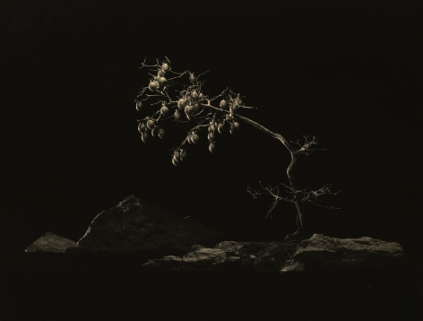 Bonsai #4006, 2018. Gelatin silver print, 10 1/4 x 13 1/4 inches.
