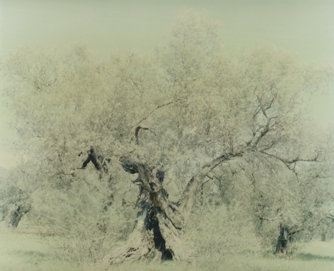 Olive20, from the seriesGhost, 2003, 47 1/4 x 59 1/8 inch archival pigment print