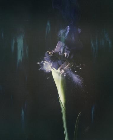 Iris Atropurpurea 05B P, 2018. Archival pigment print, 15 3/4 x 12 3/4 inches.