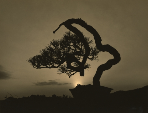 Bonsai #4016, 2018. Gelatin silver print, 10 3/16 x 13 1/4 inches.