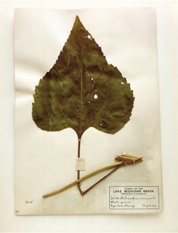 Field Museum, Helianthus, Chicago, 1899 (leaf), 2000. Archival pigment print, 24 x 20 inches.