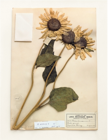 Field Museum, Helianthus Annuus, 1899, 2000. Archival pigment print, 24 x 20 inches.