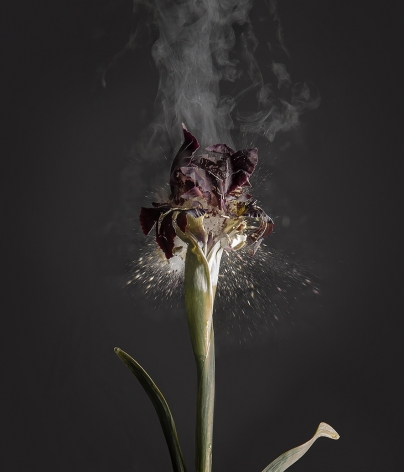 Iris Atropurpurea D01, 2018. Archival pigment print, 47 1/4x 403/8inches.
