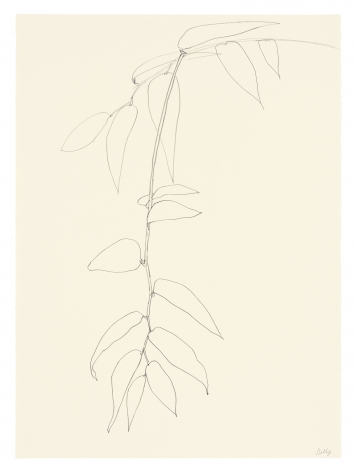 pencil drawing of Leucothoe