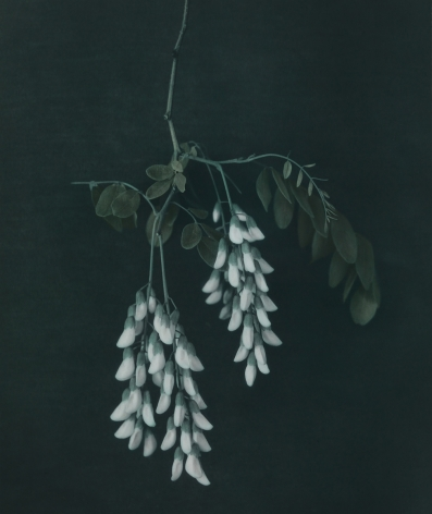 Untitled (Black locust blossom), Zechin, 2014, Gelatin silver print with applied oil paint