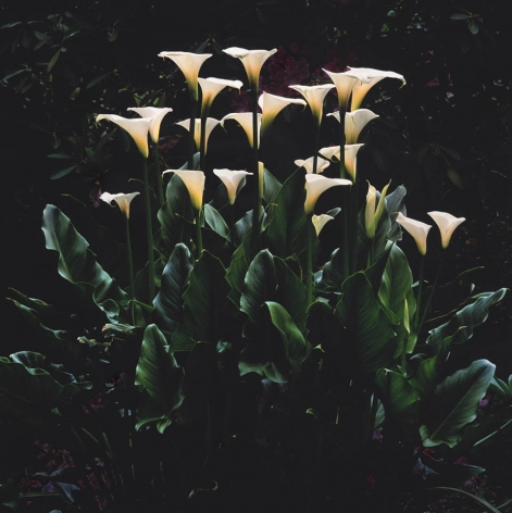 White Callas at Dawn, Oregon, 2003