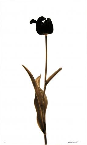 Tulipe Noire (Black tulip),1980, Edition 4/6