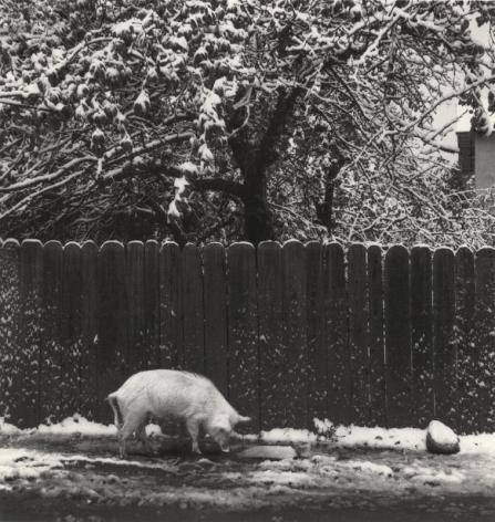 Mestia, Georgia (pig in snow), 2014, Gelatin silver print