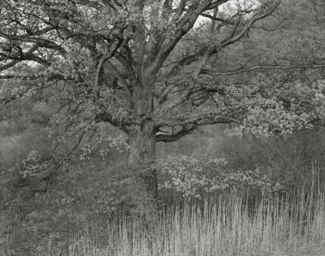 Oak Tree, Holmdel, NJ, 1970