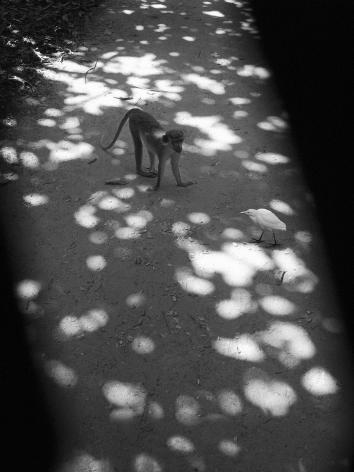 Obuko, Gambia (monkey and bird), 2009