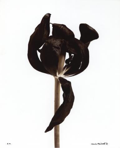 Tulipe Noire (Black tulip), 1977, Gelatin silver print with toning, oxidation, and sulfurization