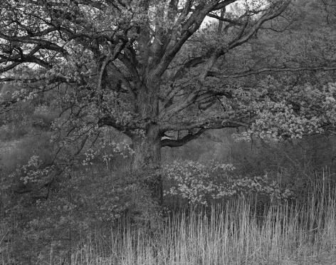 George Tice, Oak Tree, Holmdel, NJ