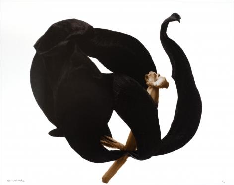 Denis Brihat (b. 1928, Paris), Tulipe noire (black tulip), 1980, printed 2012