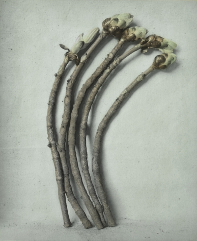 Untitled (Horse-chestnut buds), Zechin, 2015, Gelatin silver print with applied oil paint
