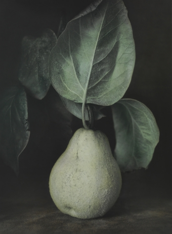 Untitled (Quince), Jena, 2014, Gelatin silver print with applied oil paint