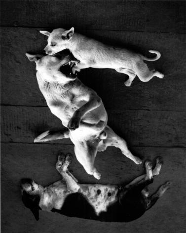 Varanasi, India (Dogs Rolling),1999, Gelatin silver print