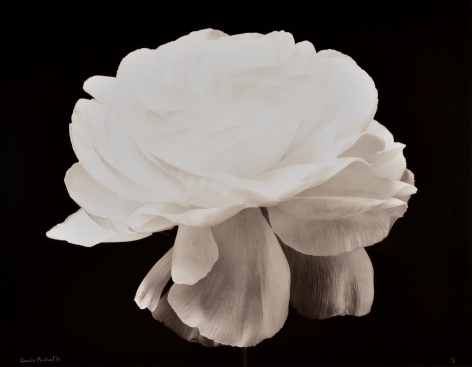 Gardenia, fond noir (Gardenia, black background), 1994, printed 1997