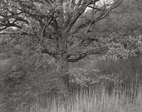 Oak Tree, Holmdel, NJ, 1970