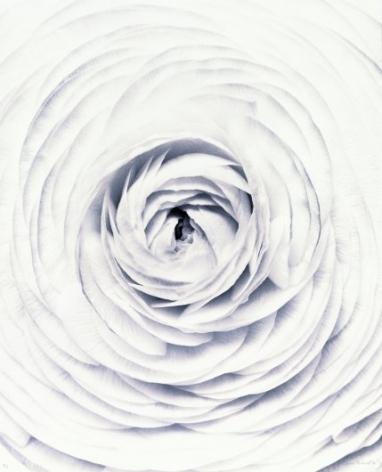 Ranunculus, 1994 Toned gelatin silver print