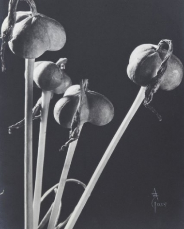 Anatole Saderman Flia Amarilidaceas, Fruits, 1934