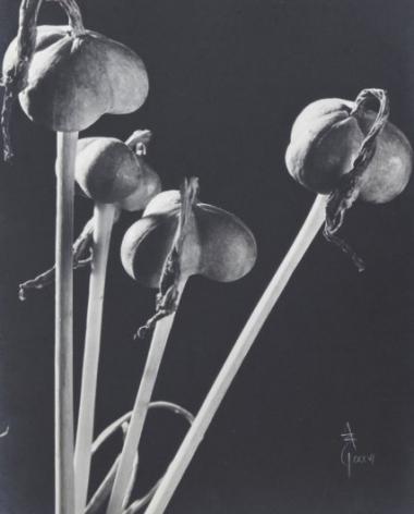 Anatole Saderman Flia Amarilidaceas, Fruits, 1934