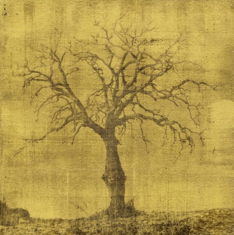 oak tree large