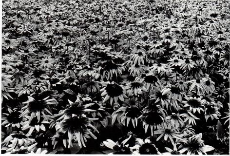 Moriyama, Sunflowers, Letter to Nakahira Takima, 1988