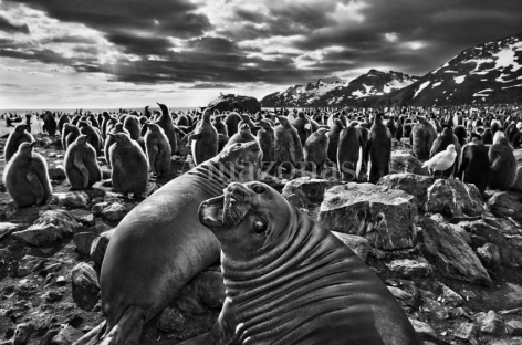 Sebastião Salgado, Southern elephant seal calves at Saint Andrews Bay. South Georgia.2009. Gelatin silver print. 91.44 x 127 cm.